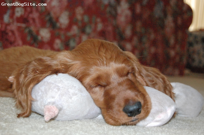 Irish Setter, 8 weeks, mahogany, Sleepy baby.
