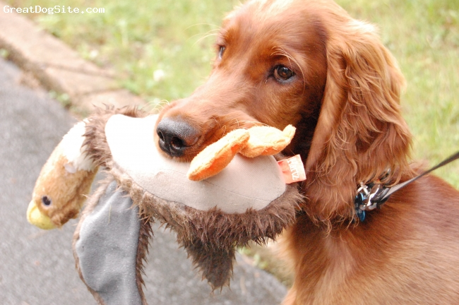 Irish Setter, 4 months, mahogany, Dash's stuffed duck is his security blanket.  He always brings in on walks.