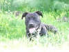 Irish Staffordshire Bull Terrier, 22 months, black