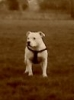 Irish Staffordshire Bull Terrier, 2, white