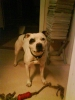 Irish Staffordshire Bull Terrier, 6, white
