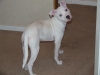 Irish Staffordshire Bull Terrier, 4/5 MONTHS, WHITE