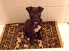 Irish Staffordshire Bull Terrier, 2 months, black