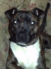 Irish Staffordshire Bull Terrier, 10 months, brindle