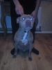 Irish Staffordshire Bull Terrier, 2-3yrs old, fawn