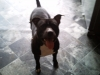 Irish Staffordshire Bull Terrier, 1 1/5, brindle n white