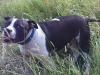 Irish Staffordshire Bull Terrier, 3yrs, white and brindle