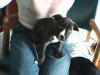 Irish Staffordshire Bull Terrier, 7 weeks, brindle  with white markings