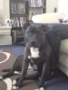 Irish Staffordshire Bull Terrier, 13 months, Dark Brindle