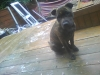 Irish Staffordshire Bull Terrier, 5 month, pure brindle