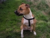 Irish Staffordshire Bull Terrier, 2 years, tan/red white chest/paws