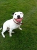 Irish Staffordshire Bull Terrier, 2 and half, white/black markings