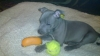 Irish Staffordshire Bull Terrier, 6 month, blue