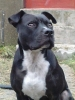 Irish Staffordshire Bull Terrier, 2, black & brindle