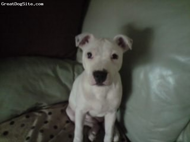 Irish Staffordshire Bull Terrier, 5 months, white and spottie, loverly natuerd female a bit wild sometimes loves people but dont like any other dog getting into her space but loves our 8 year old staffie dog