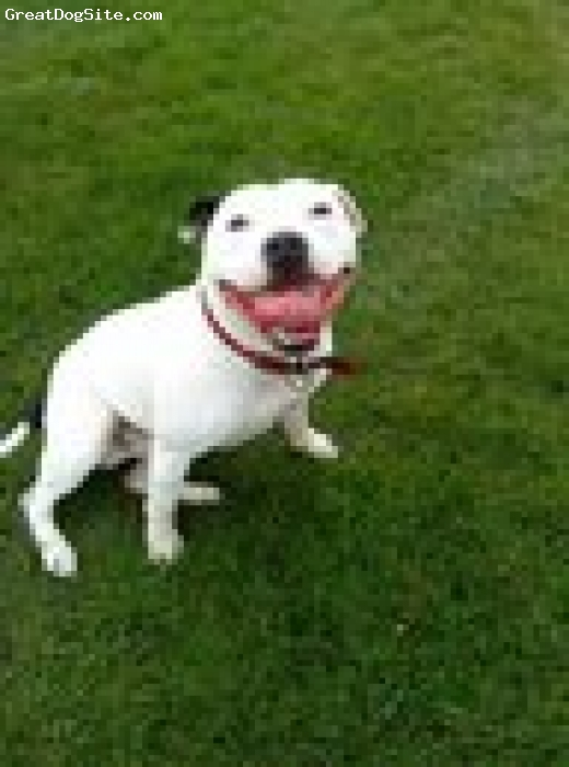 Irish Staffordshire Bull Terrier, 2 and half, white/black markings, outstanding Irish Staffie. good example of a pedigree. very playful, fit and agile. very good natured and obedient.