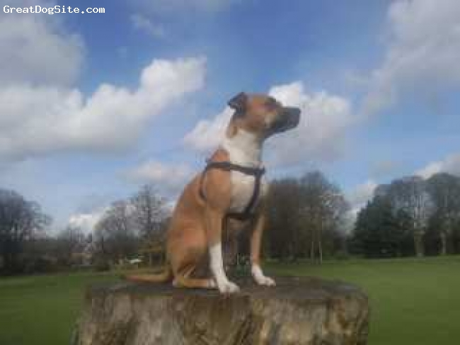 Irish Staffordshire Bull Terrier, 2years 6months, red/white, this is jess sitting on her throne in the local park she like to site and watch all the other dogs the tree stump is almost 6ft high and she has no problems getting up on top very fit girl.