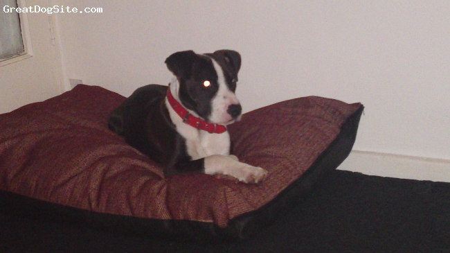 Irish Staffordshire Bull Terrier, 7 months, chocolate & white, freindly dog but stubborn. Has selective hearing ...