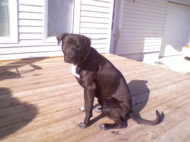 Irish Staffordshire Bull Terrier, 11/2, black brindell, Very docile, very intelligent, very athletic Irish staffy. Can easily jump over a 5 foot fence, and climb over 6. incredibly fast and powerful.