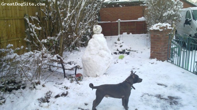 Irish Staffordshire Bull Terrier, 6 month, blue, Eric in the snow