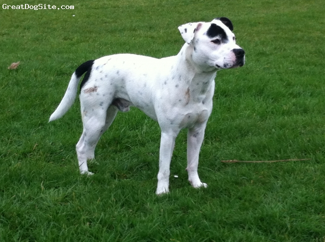 Irish Staffordshire Bull Terrier, 9 months, white, after good game in dirt