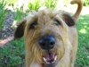 Irish Terrier, 6, red weaten