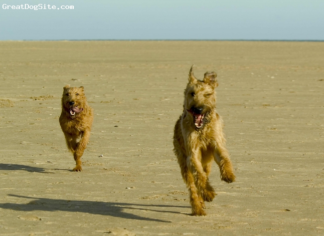 Irish Terrier, 7 & 5, Red Wheaten, Our usual Sunday morning walk to the beach