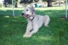 Irish Wolfhound, 2, Wheaton