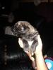 Irish Wolfhound, Baby, red brindle