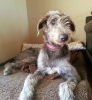 Irish Wolfhound, 1, Blue