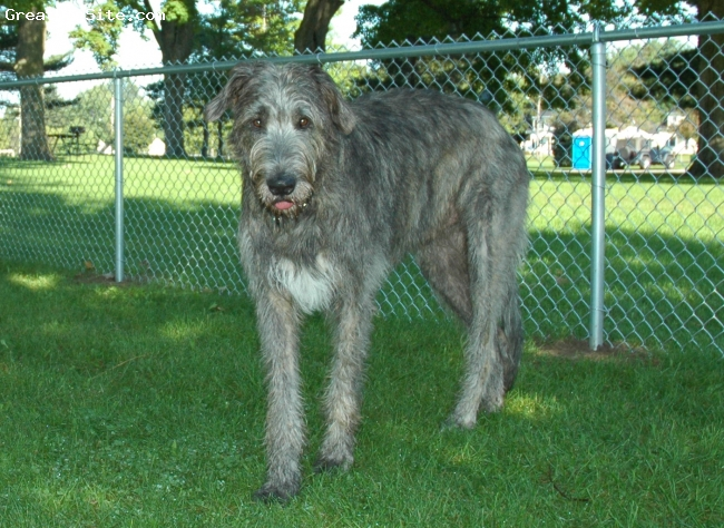 Irish Wolfhound, 2, Grey, Loving, loyal, our gentle giant. 170 lbs.