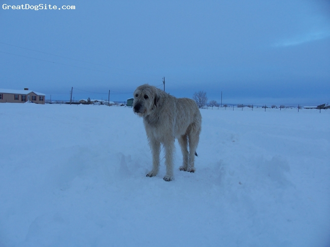 Irish Wolfhound, 5 years, wheaten, my name is daye. i am a singing swords irish wolfhound. i stand 39 inches at the shoulder. i weigh 194 lbs.