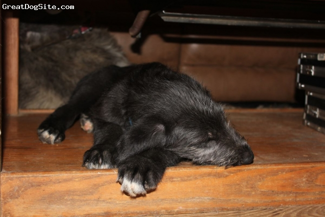 Irish Wolfhound, Baby, black, Taking a nap....He didnt fit their the next week:-)