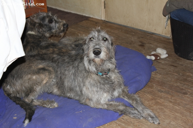 Irish Wolfhound, 2 years, Red Brindle, Laying down with her neice.