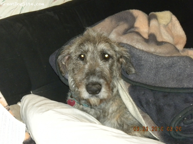 Irish Wolfhound, 2 years, red brindle, Being tucked it...But i forgot teddy