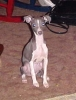 Italian Greyhound, 14 months, Blue and White