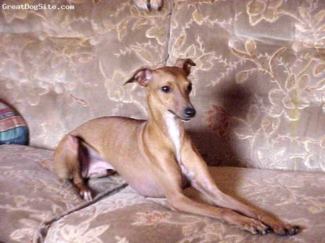 Italian Greyhound, 16 months, Red and White,