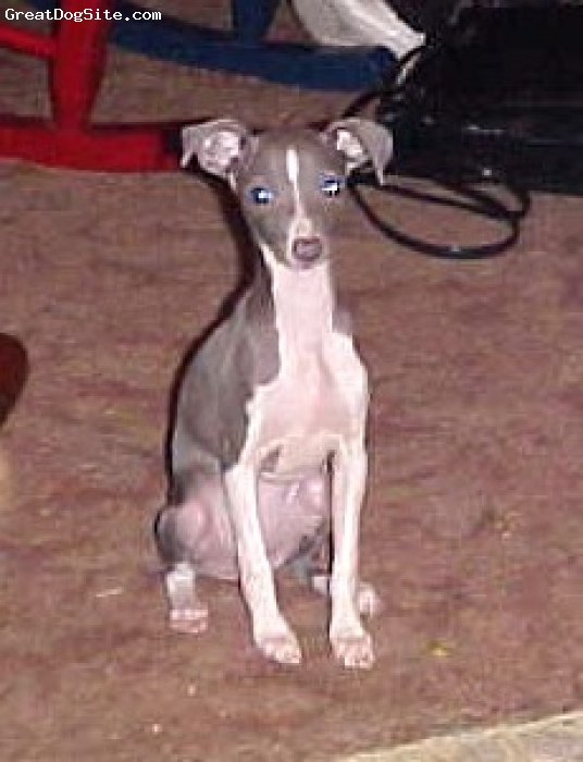 Italian Greyhound, 14 months, Blue and White, Star's D.O.B. is 8/17/2007 we were going to put her in our breeding program but she turned out way to small. So if your looking for a smaller I G we have her up for sale our friend an myself are the breeders on her as well