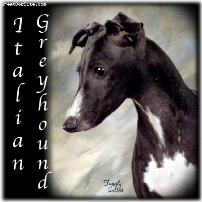Italian Greyhound, Unknown, Black and White, Italian Greyhound