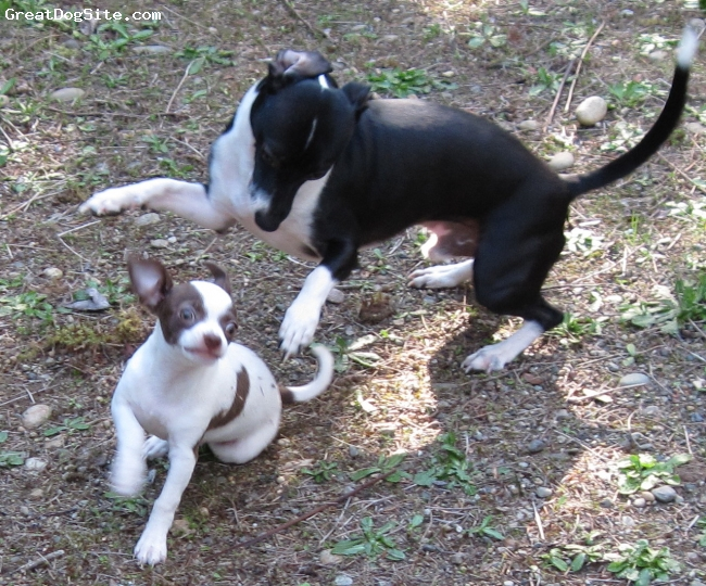 Italian Greyhuahua, one year, Black with White, Cody and his son