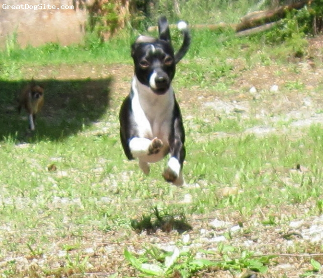 Italian Greyhuahua, one year, Black with White, This is Cody doing what he loves to do the most run. With his large rabbit feet and powerful strong legs he's quite fast. His mother is an 8 pound pure breed Chihuahua and his father is a pure breed Italian Greyhound. Cody is now one year old and has grown to look like an Italian Greyhound and is as large as his father. But he is stocky like a Chihauhau and built like an OX. Even thong he is only 13 inches tall, wiith all of his muscle he weighs 18 pounds.