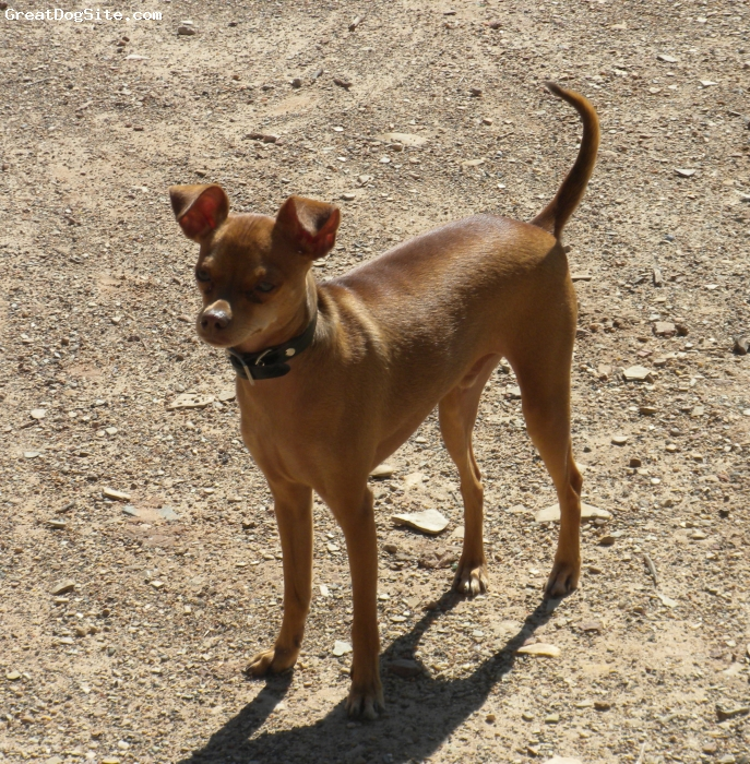 "Italian Greyhuahua, 3 years, Brown/Red, Pavi weighs 7 lbs is 12"" high and full of energy and loves to cuddle."