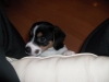 Jack Russell Terrier, 5 MONTHS, WHITE, BLACK, BROWN