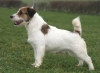 Jack Russell Terrier, 2 year, tan and white
