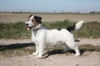 Jack Russell Terrier, 6 months, 3 color