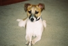 Jack Russell Terrier, 11 mos., tri