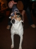 Jack Russell Terrier, 6 years old, black/white/brown