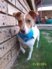 Jack Russell Terrier, 2 years, Light brown and white