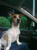 Jack Russell Terrier, 1.5 years, White & brown