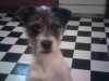 Jack Russell Terrier, 6 months, white, brown, black